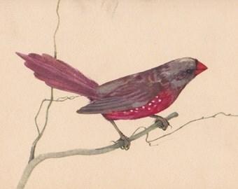 "Vintage Polish Postcard ""Crimson finch"" -- 1965. Condition 9/10"