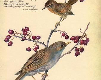 1910s Antique Wren Hedge Sparrow, flower art print, printed 1970, woodlands flower 172 floral bookplate prints, botanical illustration