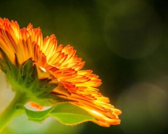 Yellow Orange Calendula Blossom. Macro Flower Petals. Nature Photography. Fine Art Print. Unmatted, unframed Wall Decor. Wall Art.