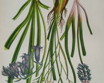Antique Botanical Print Bluebell and Muscari  1860's  Anne Pratt  Original Victorian Print Flowers Plant