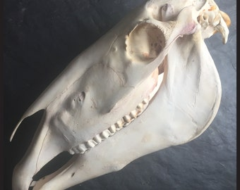 Huge Old Horse Skull / Skeleton / Bones /Taxidermy - Cabinet of Curiousity - Gothic