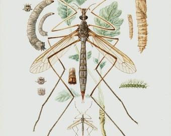 1961 Insect original vintage print, cranefly