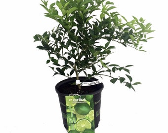 """Key Lime Tree - 8"""" Pot - Fruiting Size/Branched Plant - Make Key Lime Pie"""