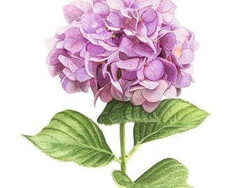 "Pink Hydrangea Watercolor 8"" x 10"" Print"
