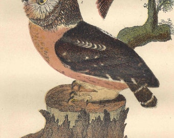 1876 Antique Bird Print Owl Finch Lithograph Wilson American Ornithology