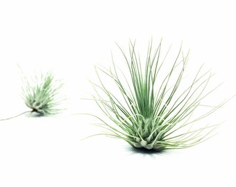 Tillandsia Fuchsii Air Plant // Hello Tilly Airplant