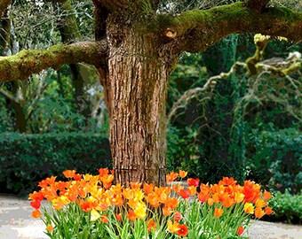 Orange Tulips and Tree Photography, Nature Photo