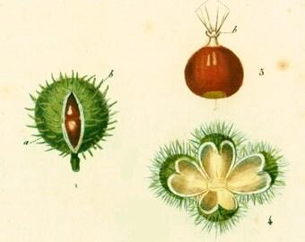 Turpin 1819 Chesnut Fruits Botanical Print Original Antique engraving f handcolored natural history framing wall hanging