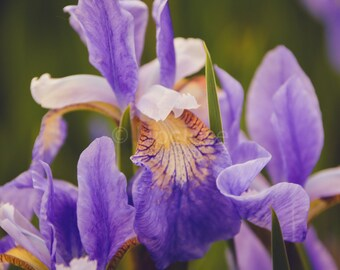 Purple and Yellow Iris Petals Photo, Purple Flower Print