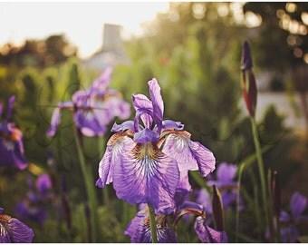 Iris Photography. Purple Iris Photo. Flower Photography. Flower Photo. Nature Photography. Nature Print. Fine Art Photography.
