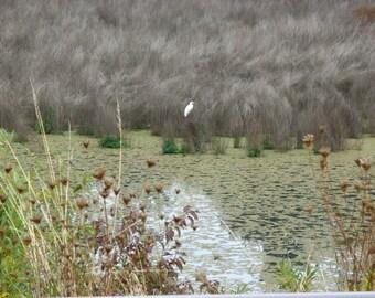 Oak Bottoms Snowy Egret