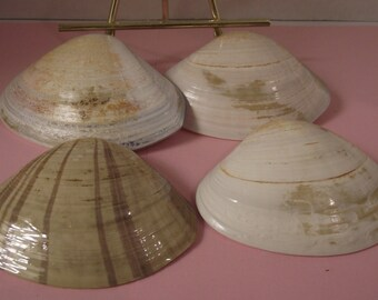 4 Pismo Clam Sea Shells #27