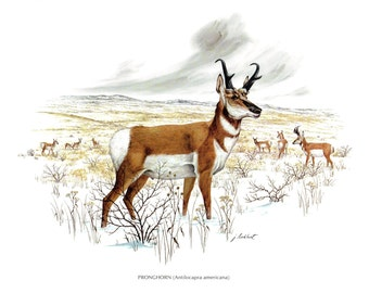 """A large print of the Pronghorn painted by James Lockhart for the book Wild America. The bookplate is 15"""" wide and 12"""" tall."""