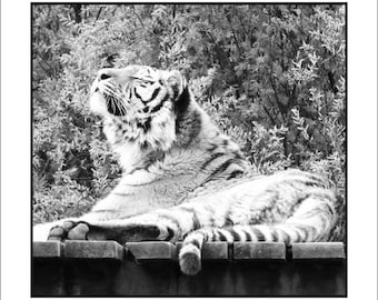 Relaxing Tiger - Greeting Card (Wild 3)