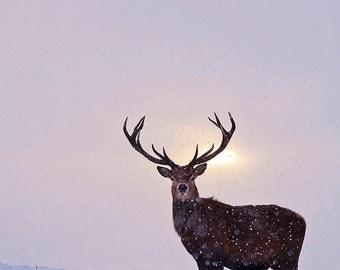 Darcy's Stag - deer - stag - Cervus elaphus - Pride and Prejudice - fine art photography print