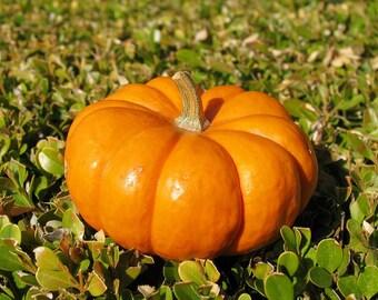 Pumpkin seeds Universal Ukraine Heirloom Vegetable Seeds #712