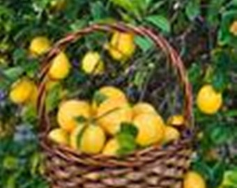 Indoor Lemon Tree (Grafted) /Bonsai Tree/Fruit Tree/Citrus Tree/Flowering Tree/Live Tree/Live Bonsai