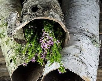 Birch Bark Tubes Natural
