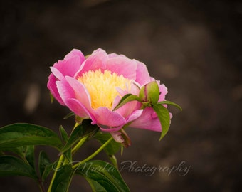 Pink and yellow peony, Janelle