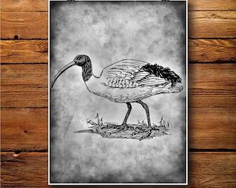 Ibis illustration, Bird Poster, Vintage print, Wall Hanging BW512