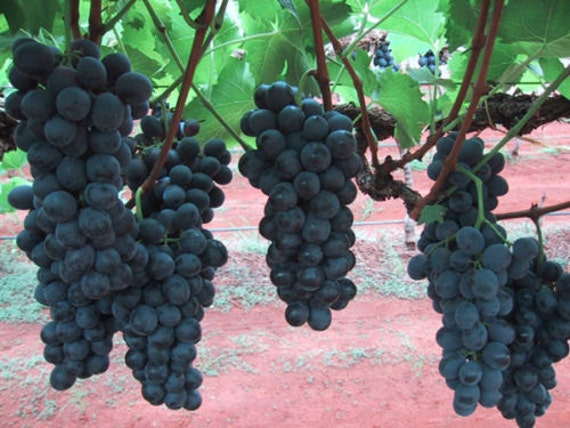 Grape Seeds - Dan Ban Hannah - GMO Free- Organic - MEDICINAL - 15 Seeds