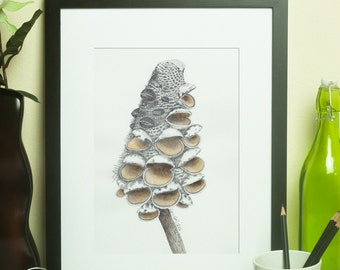 Banksia Seed Pod Drawing #2