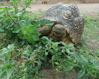 Tortoise Grazing Blend (450=>28,000 seeds) for leopard and other grazers #282