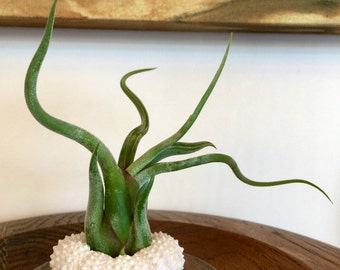Air Plant Urchin - Crazy Airplant Thinks It's A Sea Urchin, Tillandsia, Gift