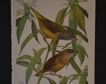 1936 Birds of America Vintage Bird Print Original Book Page - Warblers Mourning Warblers