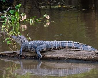 Sunbathing...gator in bayou, gator on log, photo of alligator, bayou gator, animal photos, Louisiana gator