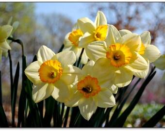 Spring Daffodils, Flowers, Spring, Sunshine