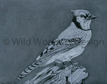 Blue Jay Ink Drawing Print