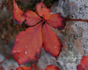 Red Vine On Lichen Wall Photography
