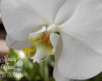 White Flower Photograph,  4 x 6 Photograph