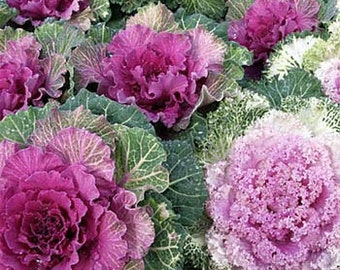 Ornamental Kale Flower Seeds/Brassica Oleracea/Annual    50+