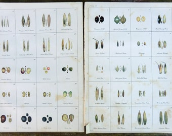 Illustration Book Plates Seed Pod Prints Artist N. Criddle Early 1900s Forty Seed Pods Shown