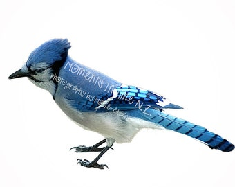Moments In Time Bluejay Bird Overlay