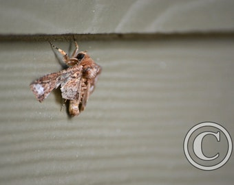 Nature Photo Moth with Broken Wing Photo Print