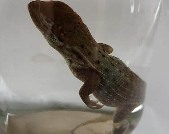 Bahamaian Curly Tailed Lizard Wet Specimen