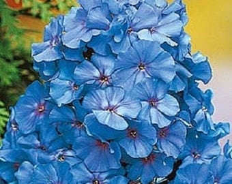 30+ Light Blue Phlox / Fragrant Re-Seeding Annual