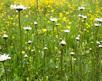 Ox-eye daisies and buttercups