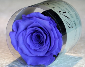 Stabilized eternal rose violet