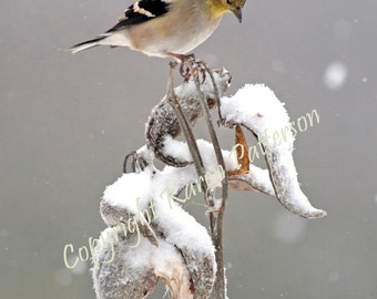 Goldfinch perched on milkweed during winter snowfall