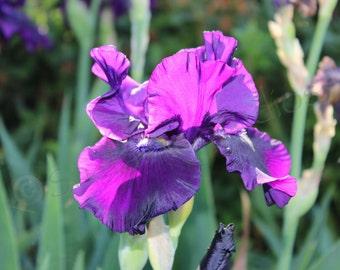 Purple Iris (Purple, Iris, Sunny, Sun dappled, bright, Flower)