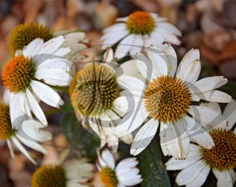 Echinacea Flower 2