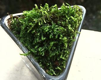 Triangular Moss Terrarium