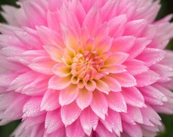 Pink Dahlia Photograph, Flower Photo, Nature Botanical Floral Photography