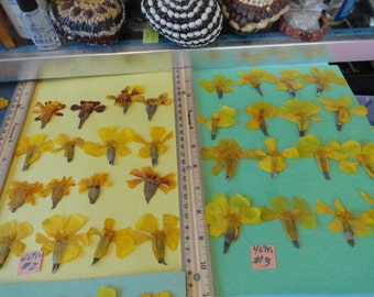 Choose your Marigold Flowers Pressed and Preserved in Alaska  469 FL