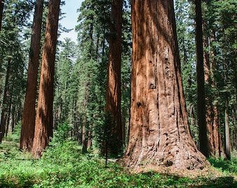 Redwood Forest Photography, California Trees Nature Decor, California Wall Art, Sequoia Forest, Sierra Nevada Mountains