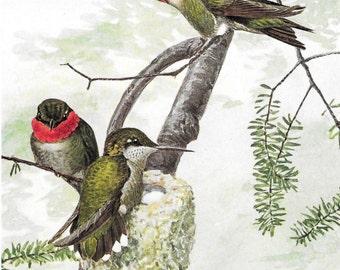 Ruby Throated Hummingbird  Louis Aggasiz Fuertes Bird Print 1914